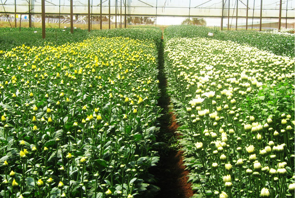 Fiduga flower farm